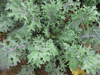Kale ~ Red Russian (Current Stock)